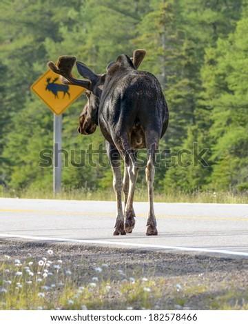 where moose cross the road - stock photo
