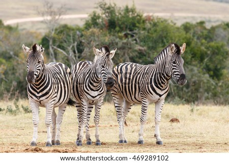 Which Way To Look At The Camera - Burchell's zebra is a southern subspecies of the plains zebra. It is named after the British explorer and naturalist William John Burchell.