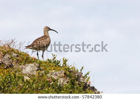 Whimbrel - Iceland - stock photo