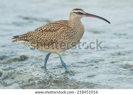Whimbrel walking at the water's edge.