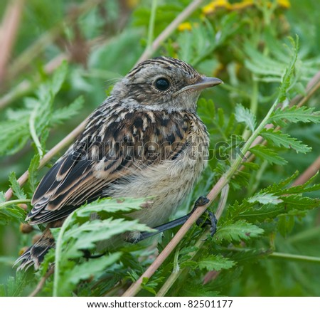 whinchat - stock photo