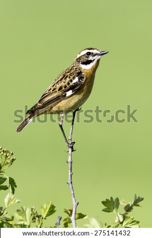 Whinchat in natural habitat / Saxicola rubetra - stock photo