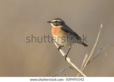 Whinchat Saxicola rubetra Paapje