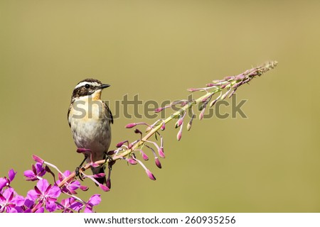 Whinchat sits on a willowherb