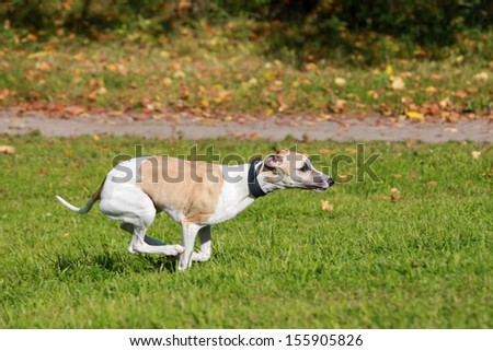 Whippet dog run in field - stock photo