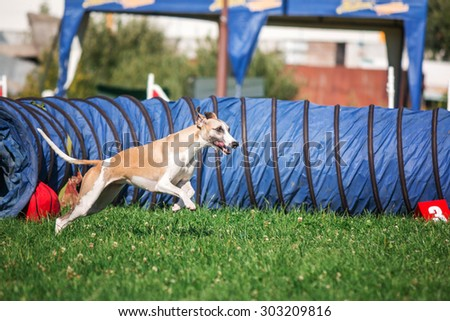Whippet dog running in agility - stock photo