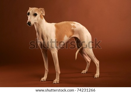 whippet isolated on brown studio background - stock photo