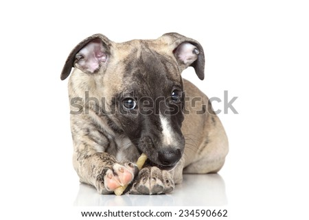 Whippet puppy chewing a bone on white background - stock photo