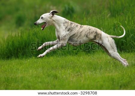 whippet running - stock photo