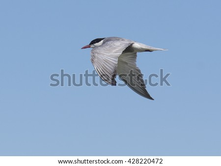 Whiskered tern, Chlidonias hybri - stock photo