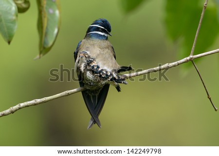 Whiskered Tree Swift