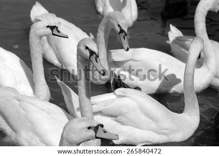 White  a swan is photographed close up - stock photo