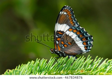 White Admiral Butterfly perched on an evergreen branch.