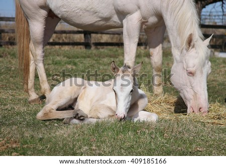 white adult horse and foal together in a field grazing on grass - stock photo