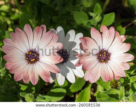 White African Daisy (Dimorphotheca pluvialis) is a plant species native to South Africa but naturalized on disturbed locations along coastal regions of California. - stock photo
