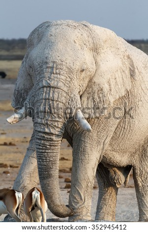 White african elephants from mud on waterhole, Etosha national Park, Ombika, Kunene, Namibia. True wildlife photography