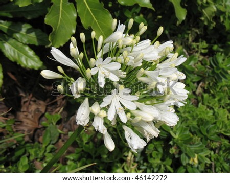 White Agapanthus Flower - stock photo