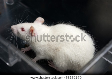 white (albino) laboratory rat in acrylic cage - stock photo