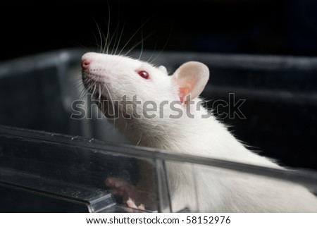 white (albino) laboratory rat in acrylic cage peeking and climbing out - stock photo