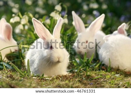 white albino rabbit on early spring meadow background, snow-white coney - stock photo