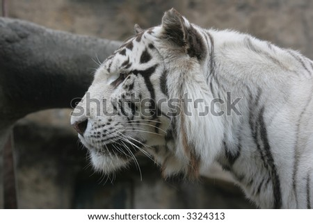 White albino tiger close-up view from one side - stock photo