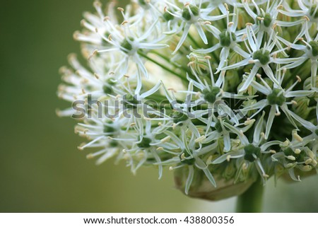 White allium in the front yard