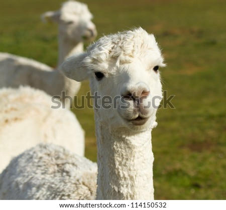 White Alpaca in a field.  An alpaca resembles a small llama in appearance and their wool is used for making knitted and woven items such as blankets, sweaters, hats, gloves and scarves. - stock photo