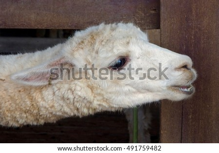White alpaca stretching neck for food