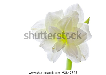 White amaryllis (hippeastrum species) isolated over white background - stock photo