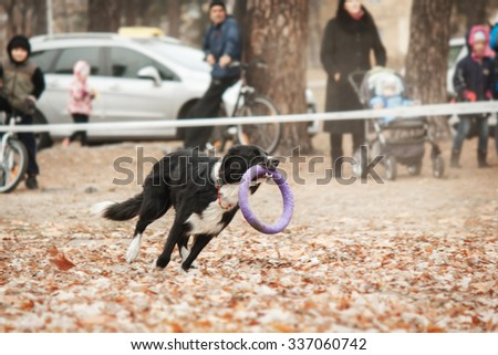 White and black dog catching puller - stock photo