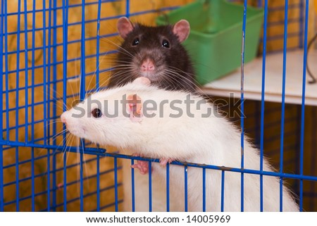 White and black rats in a cage
