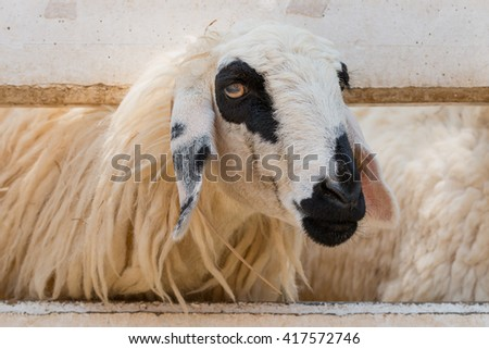 White and black sheep in farm