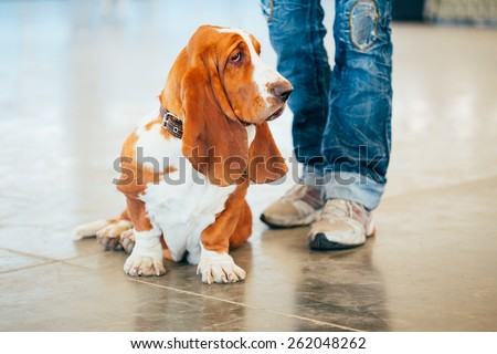 White And Brown Basset Hound Dog Portrait - stock photo