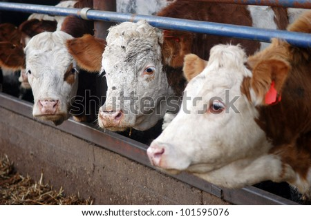 White and brown cows in a Dairy Cow Farm. - stock photo