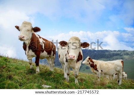 white and brown cows in the mountain pastures - stock photo