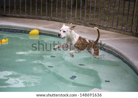 White and Brown dog jumping into pool from top step - stock photo