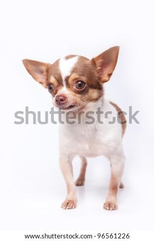 White and brown hair chihuahua - stock photo