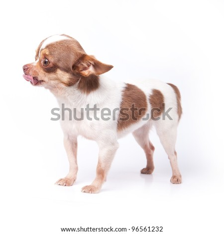 White and brown hair chihuahua