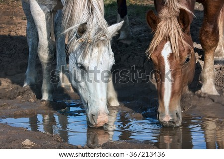 white and brown horses drinks water from a puddle during droughts - stock photo