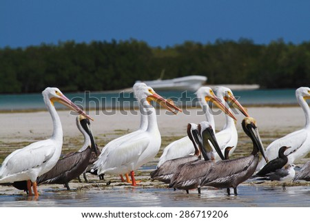 white and brown  pelican coast of Mexico - stock photo