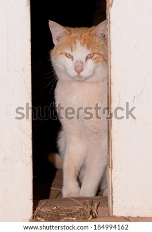 White and ginger tomcat looking through barn doors - stock photo