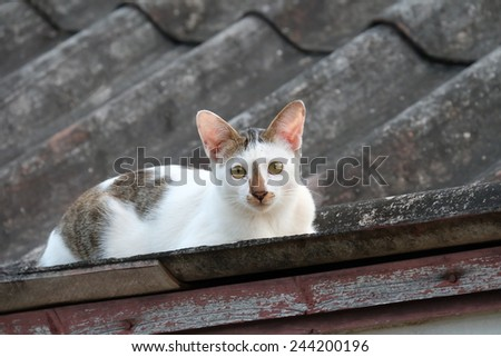 White and Grey Cat look at camera on The Roof in Thailand - stock photo