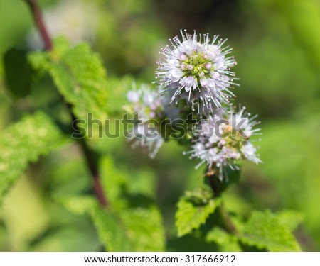 White and magenta Spearmint herb flowers - stock photo