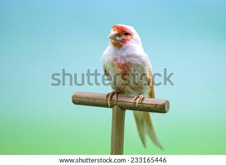 White and orange canary (Serinus canaria). - stock photo