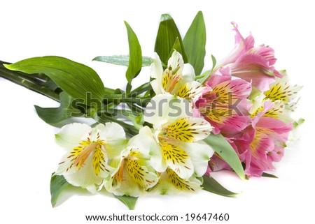 White and pink alstroemeria flowers on white ground - stock photo