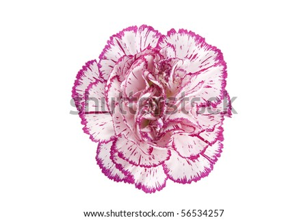 white and pink blooming carnation flower on white background