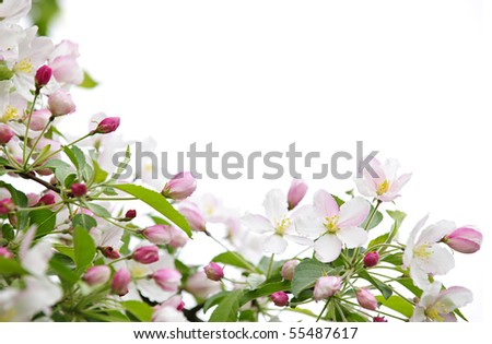 White and pink blossoms on apple tree branches on white background - stock photo