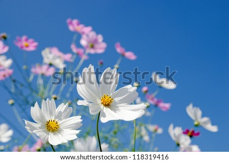 White and pink cosmos flowers under blue sky - stock photo