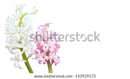 White and pink hyacinth flowers - stock photo