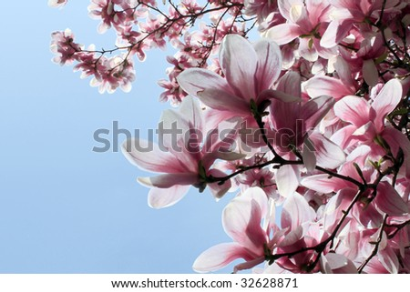 White and Pink Magnolia Blossoms against a Light Blue Sky - stock photo